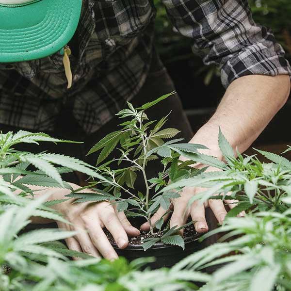 Planting Cannabis Bud Lab, Man Handling a Marijuana Plant