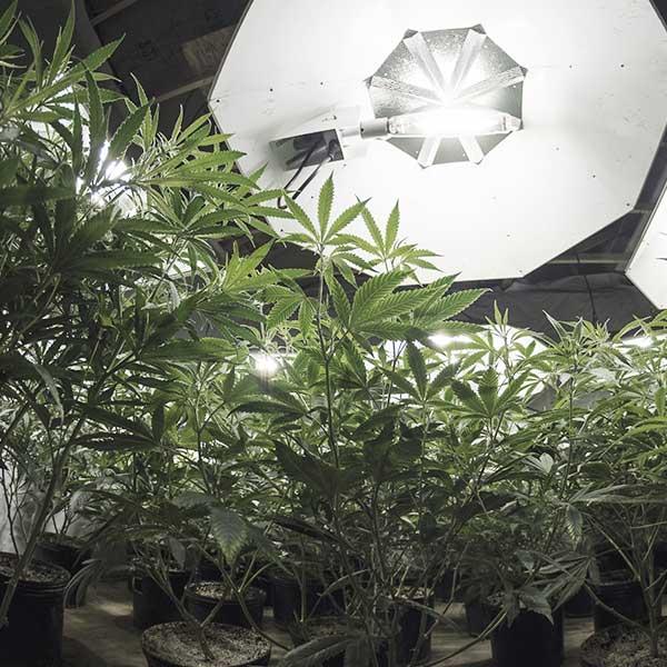 Bud Lab Cannabis Farm, Indoor Banner