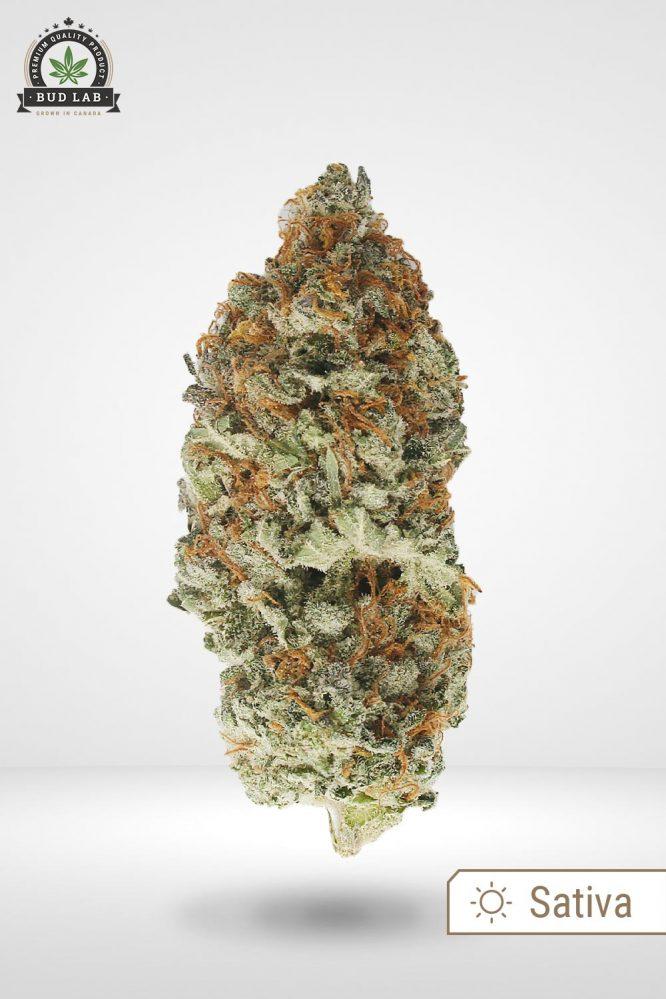 AAA King Tut Cannabis Strain, Sativa