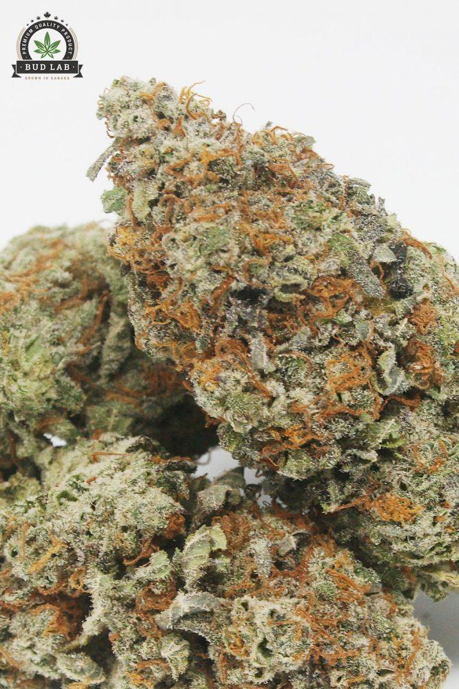 AAA King Tut Cannabis Strain, Sativa 3