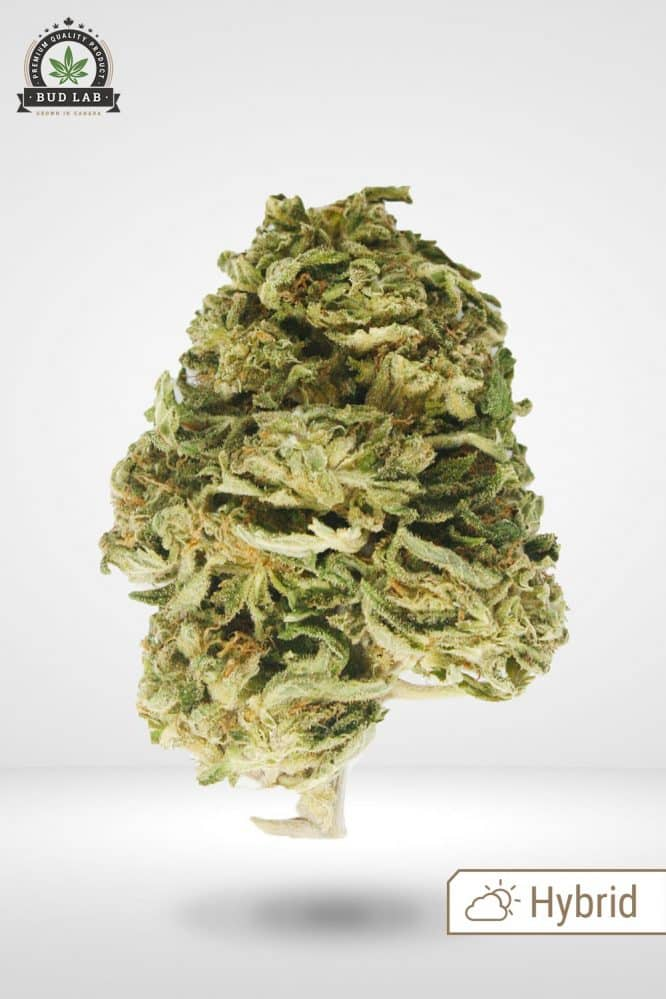 God's Green Crack AA Cannabis Strain Hybrid
