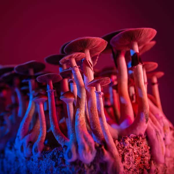 Microdose Magic Mushrooms Under Red Light