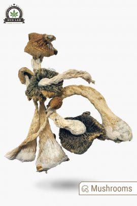 Metz Magic Mushrooms Full View of Shrooms