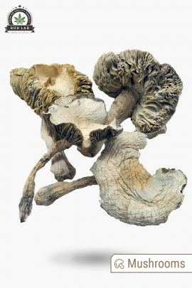 Albino Avery Magic Mushrooms 1g Full View of Shrooms