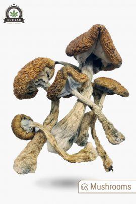 Cambodian Cubensis Magic Mushrooms 1g Full View of Shrooms