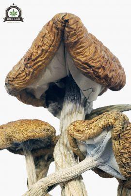 Cambodian Cubensis Magic Mushrooms 1g Close Up of Shrooms