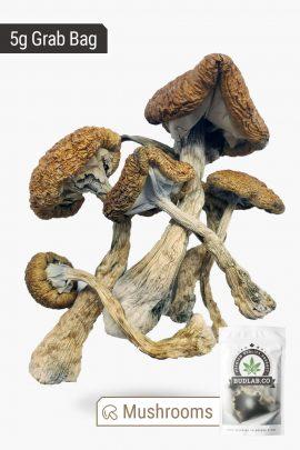 Cambodian Cubensis Magic Mushrooms 5g Grab Bag Full View of Shrooms