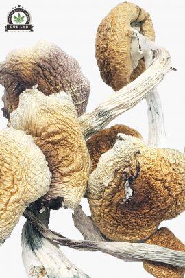 Penis Envy Magic Mushrooms 1g Close Up of Shrooms