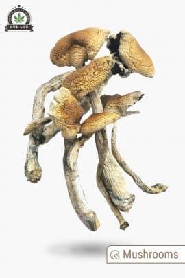 Bud Lab Brazilian Magic Mushrooms 1g