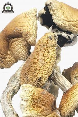 Bud Lab Brazilian Magic Mushrooms 1g 2