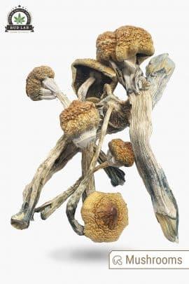 Bud Lab Huautla Magic Mushrooms 1g