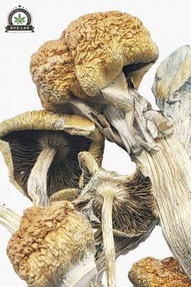Bud Lab Huautla Magic Mushrooms 1g 2