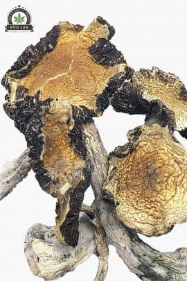 Bud Lab Amazonian Magic Mushrooms 1g