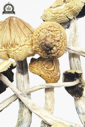 Bud Lab South American Magic Mushrooms 1g