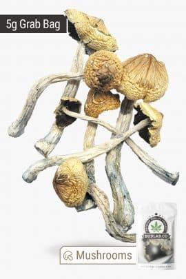 Bud Lab South American Magic Mushrooms 5g 2