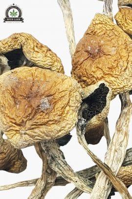 Bud Lab Wollygong Magic Mushrooms 1g