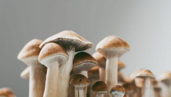 Bud Lab Magic Mushrooms Growing